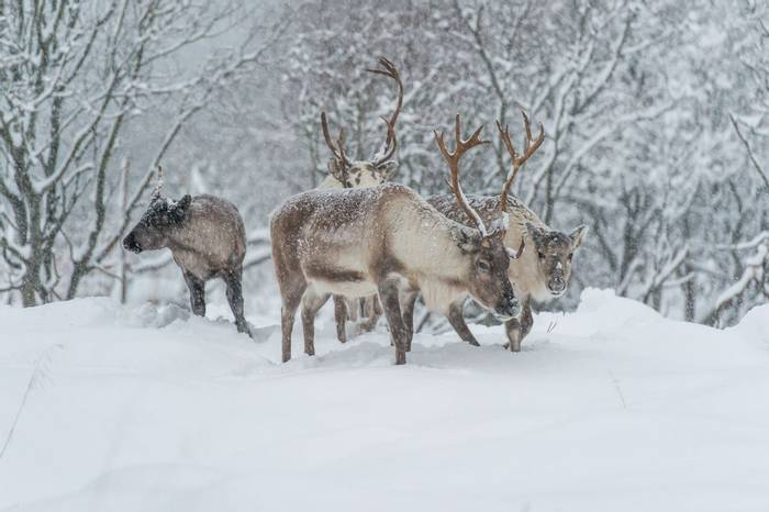 Reindeer snow shutterstock_341841392.jpg