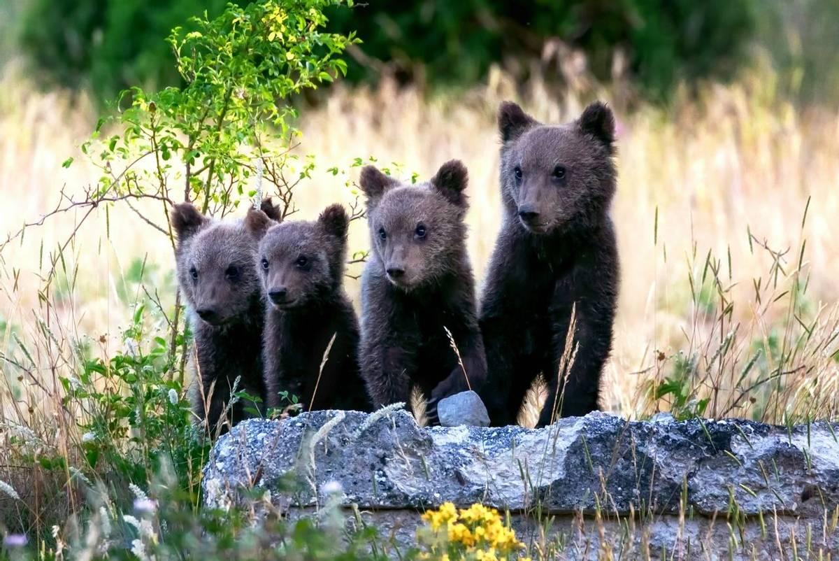 Marsican Brown Bear (crop), Italy shutterstock_1772048342.jpg