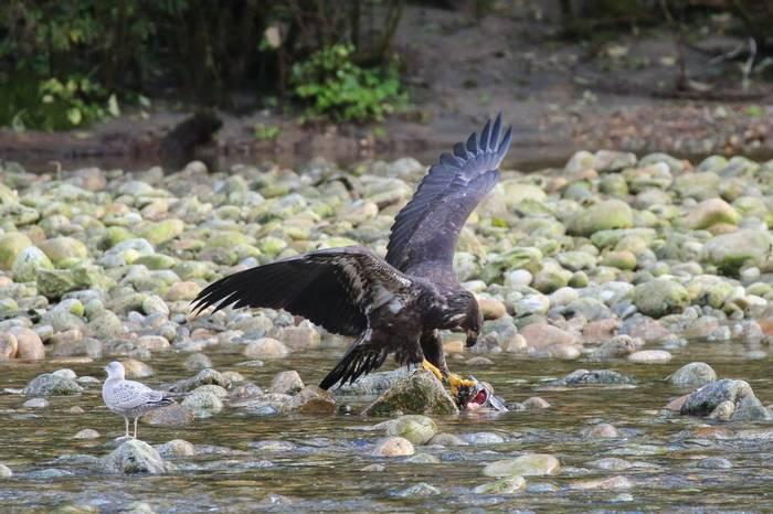 Juvenile Bald Eagle (Peter Dunn)