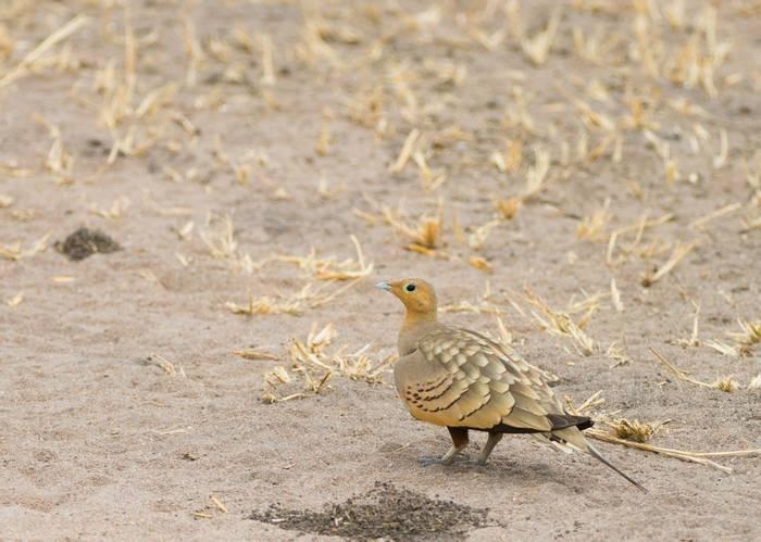 Chestnut Bellied Sandgrouse Shutterstock 476308474
