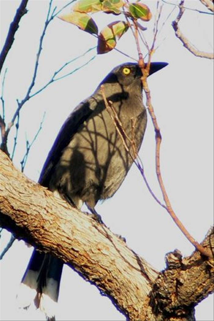 Grey Currawong (Peter Taylor)