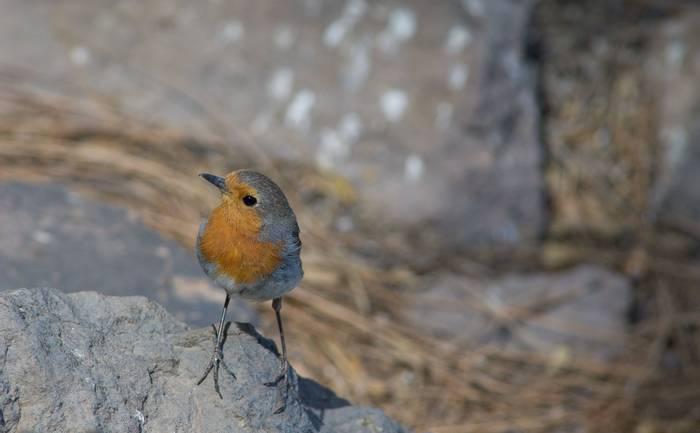 Robin, gran canaria shutterstock_1519133699.jpg