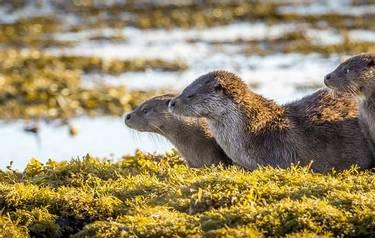 Wildlife - Otter family - AdobeStock_186729623.jpeg
