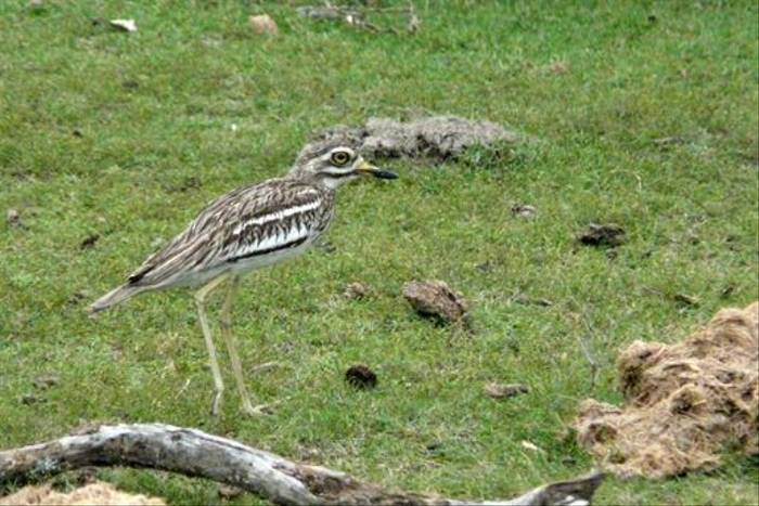 Eurasian Thick-knee (Rajan Jolly)