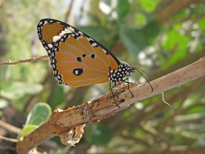 Plain Tiger Butterfly (Wendy Ball)