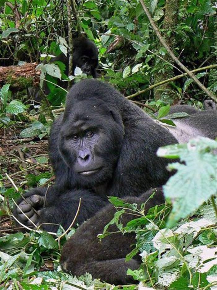 Male Silverback Gorilla (Tom McJannet)