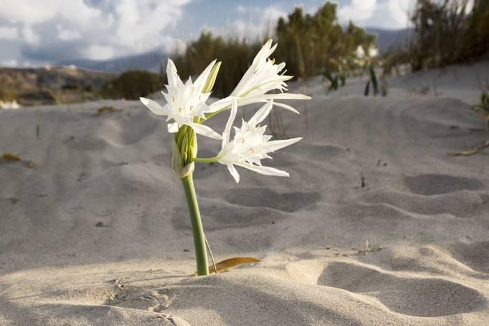 Narcissus maritumum, Sea daffodil shutterstock_519344557.jpg