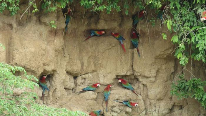 Red and Green Macaws on clay lick