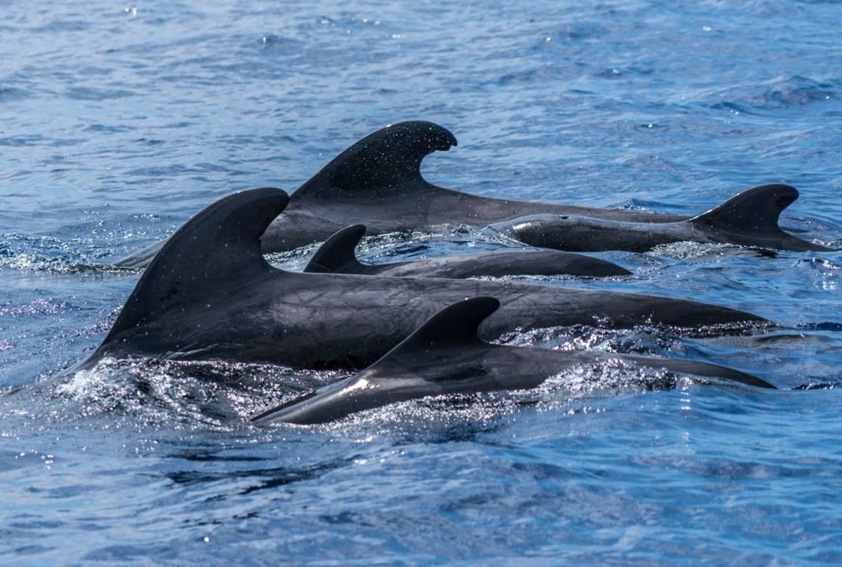 Short-finned Pilot Whales, Gran Canaria shutterstock_1452615647.jpg
