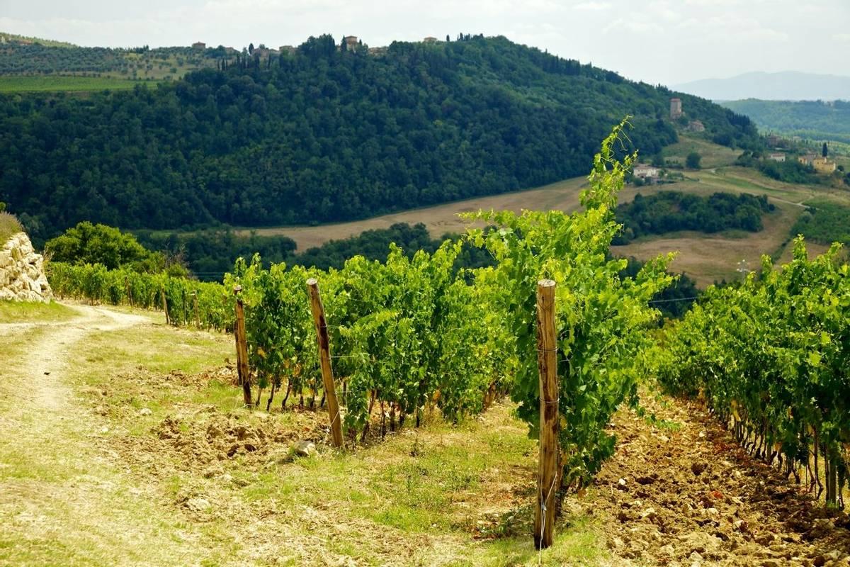 Chianti - Vineyard -AdobeStock_34003548.jpeg