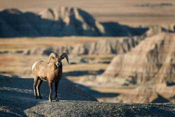 Rocky Mountain Bighorn Sheep shutterstock_338387576.jpg