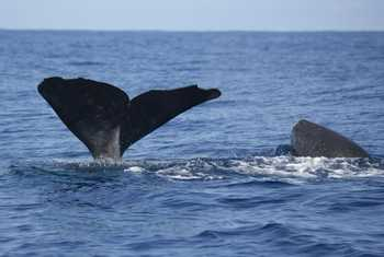 Sperm Whale With Calf
