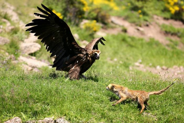Eurasian Black Vulture and Red Fox shutterstock_179701346.jpg