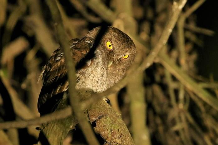 Vermiculated Screech-owl (Robin Smith).JPG