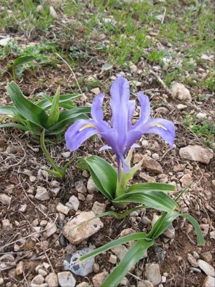 Iris planifolius (Paul Harmes)