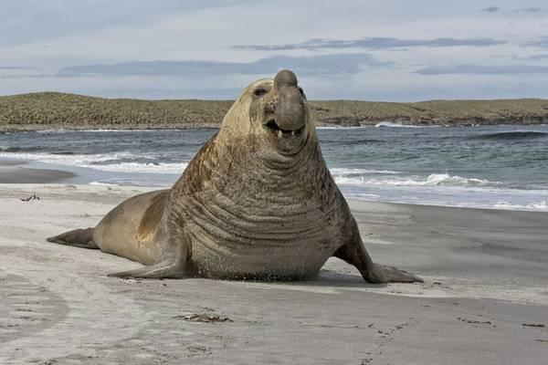 Southern Elephant Seal, Falklands shutterstock_168582671.jpg