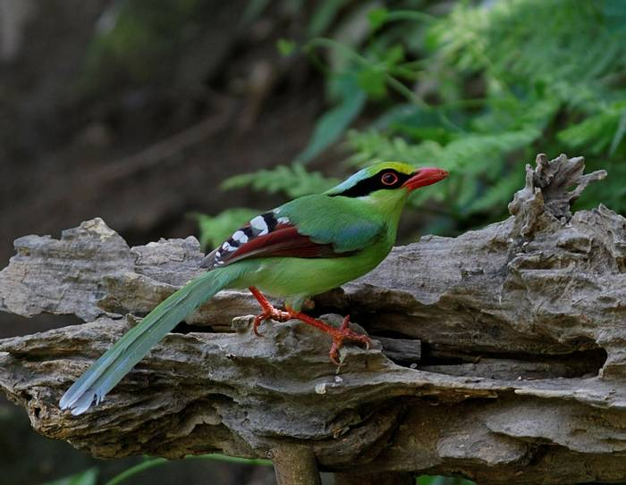 Green Magpie (Sid Francis)