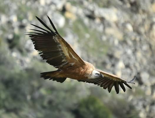 Griffon Vulture shutterstock_1668412243.jpg