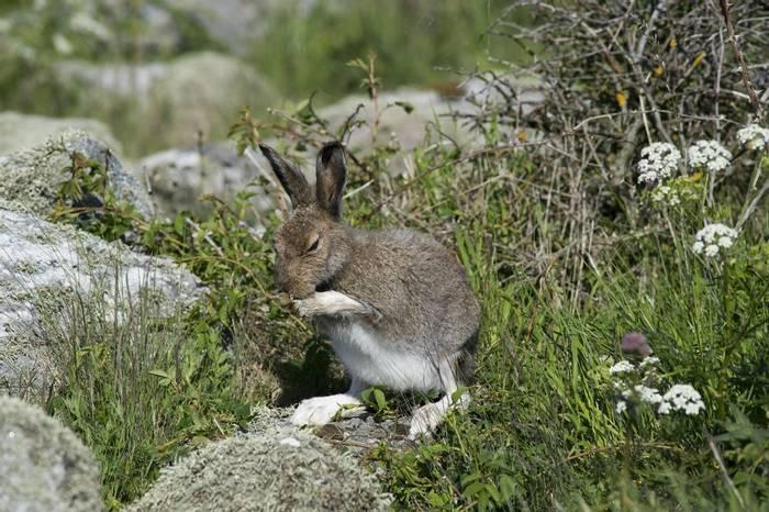 Mountain Hare, Sweden shutterstock_112041671.jpg