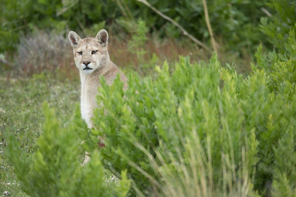 Puma, Chile Shutterstock 353703056