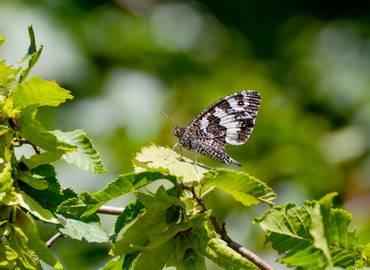 Butterflies of Southern Greece