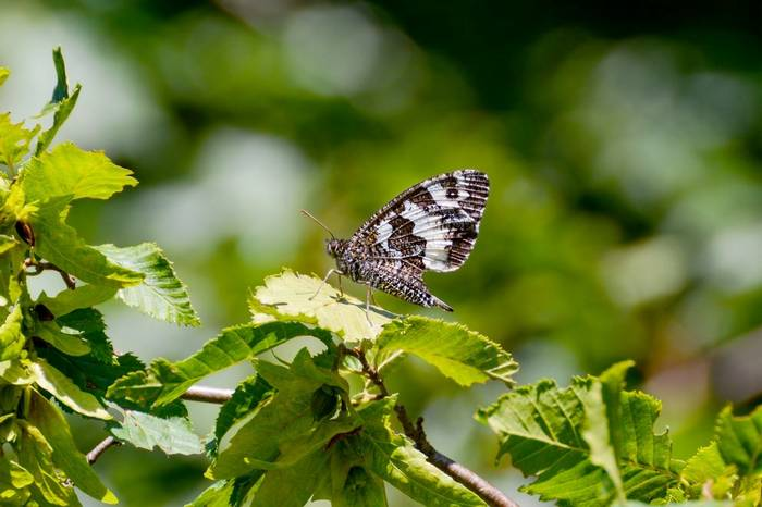 Great Banded Grayling Shutterstock 521765155