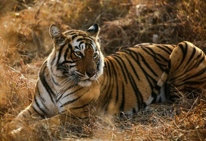 Royal Bengal Tiger - Ranthampore  (Neil Pont)