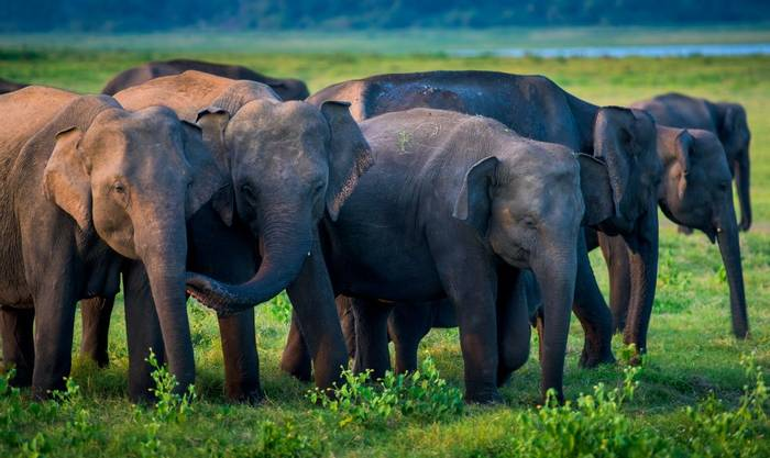 Asian Elephant, Sri lanka shutterstock_563004403.jpg