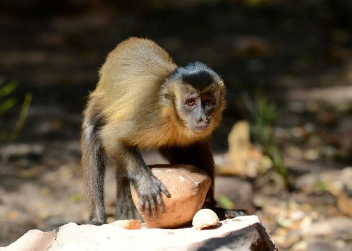 Bearded Capuchin Monkey (Stephen Woodham)
