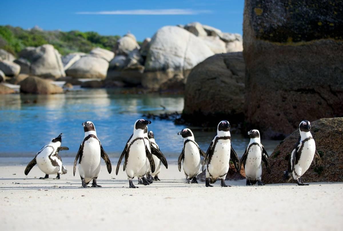 African Penguins, Boulders Beach Shutterstock 149573036