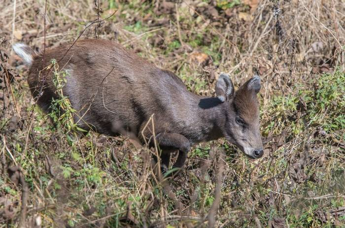 Tufted Deer (Tim Melling)