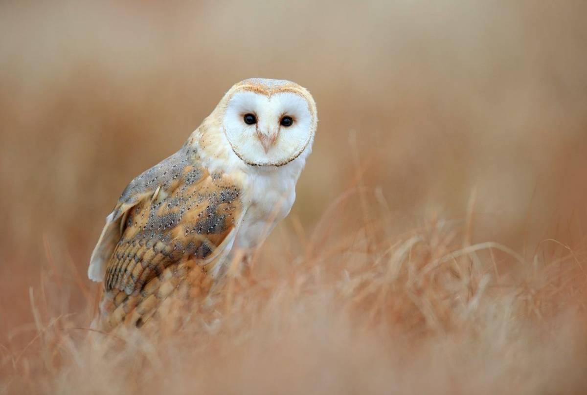 Barn Owl, UK shutterstock_494944489.jpg