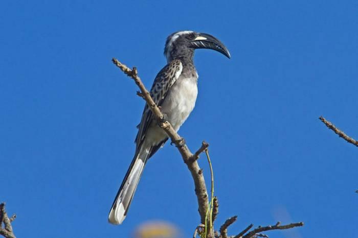 Af Grey Hornbill Gambia 11.10   1