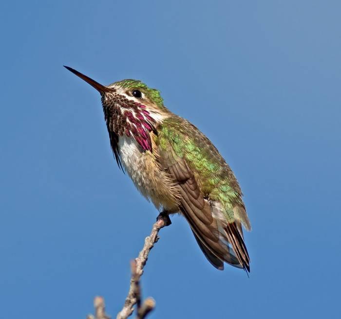 Calliope Hummingbird, Canada shutterstock_143734825.jpg