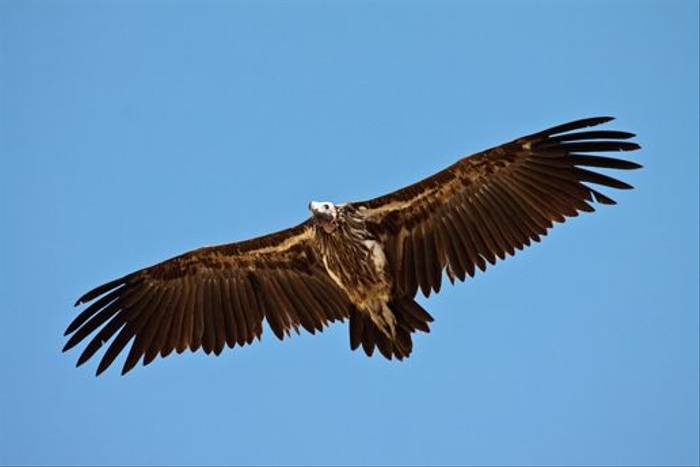 Lappet-faced Vulture (Dani Free)