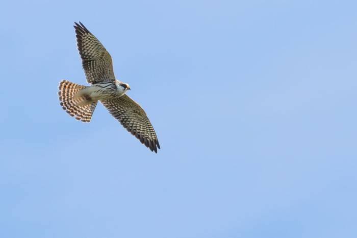Red-footed Falcon (Wim Bovens)
