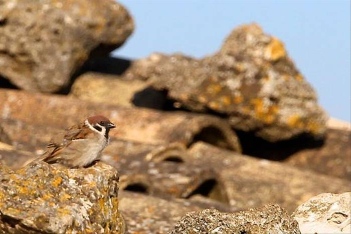 Tree Sparrow (Stuart Elsom)