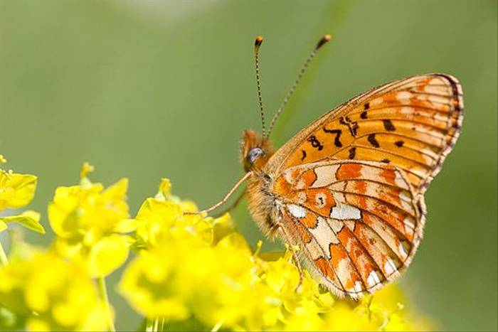 Pearl Bordered Fritillary (Ron Brown)