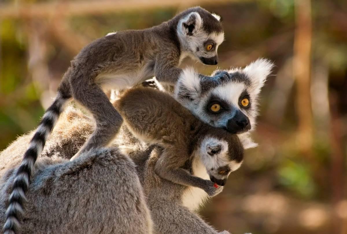 Ring-tailed Lemurs, Madagascar (Eric Gevaert).jpg