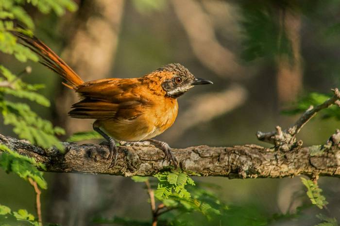 White-whiskered Spinetail by Ferney Salgado