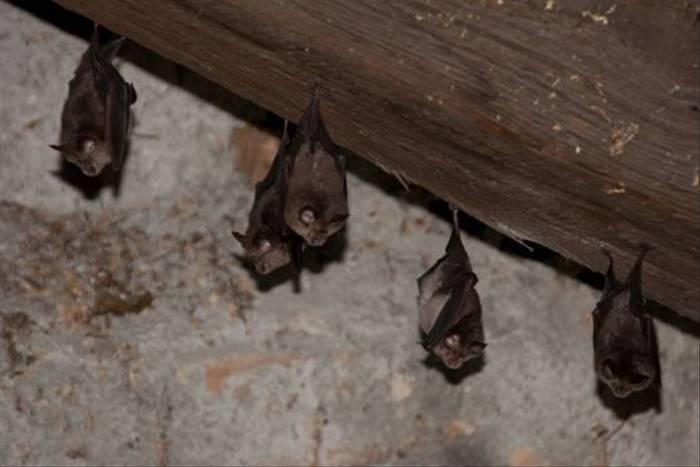 Lesser Horseshoe Bat (Jon Stokes)
