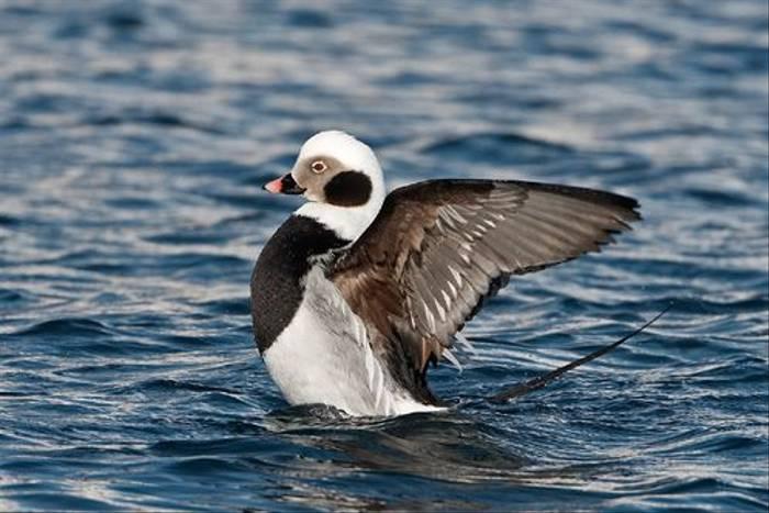 Long-tailed Duck (Jari Peltomaki)