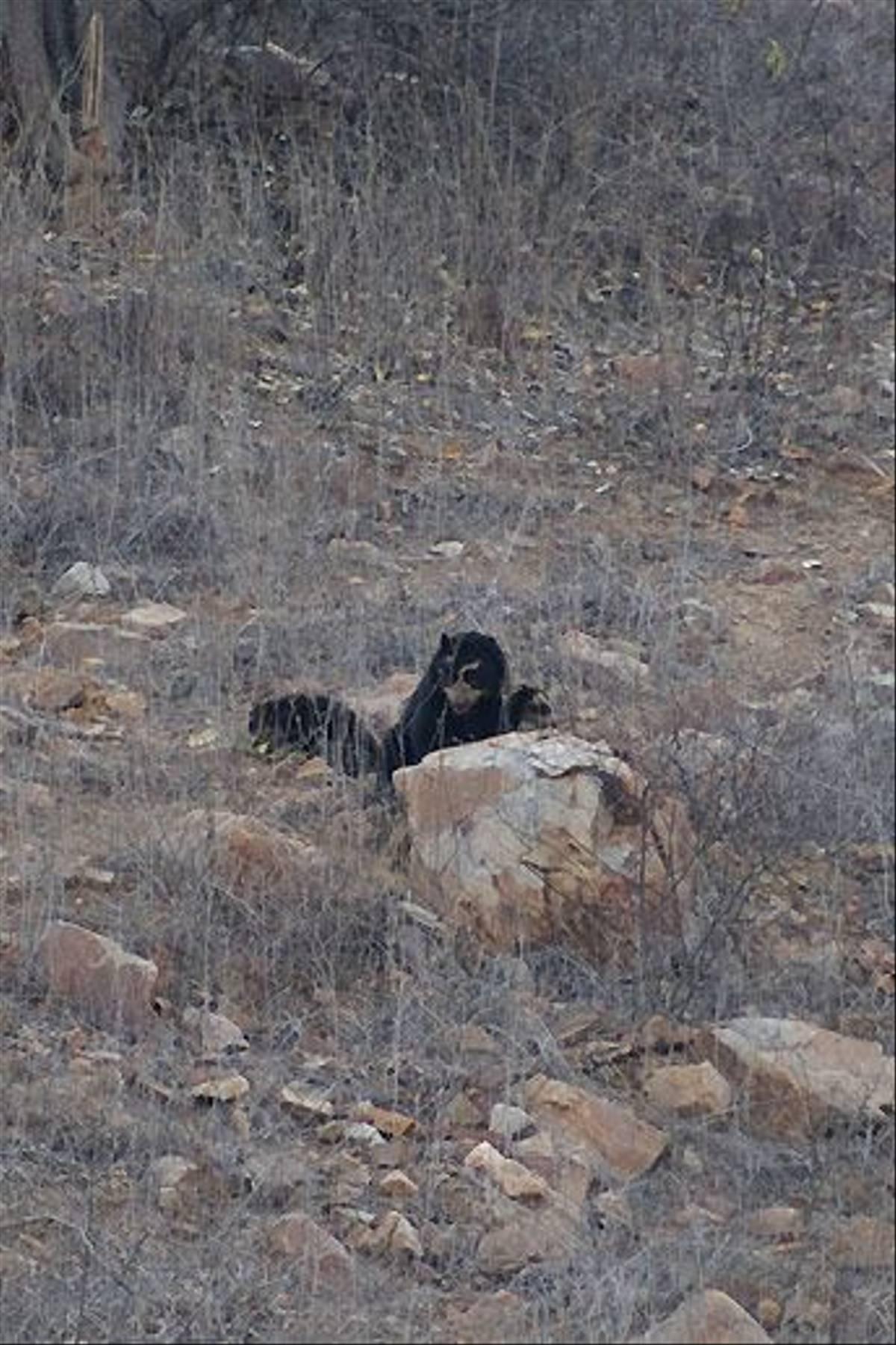 Spectacled Bear, Chaparri Lodge (David Allison)
