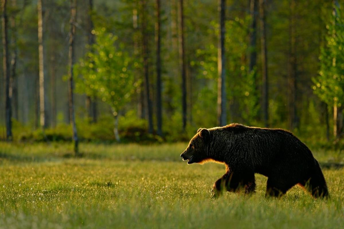 Brown Bear, Sweden Shutterstock 456885763