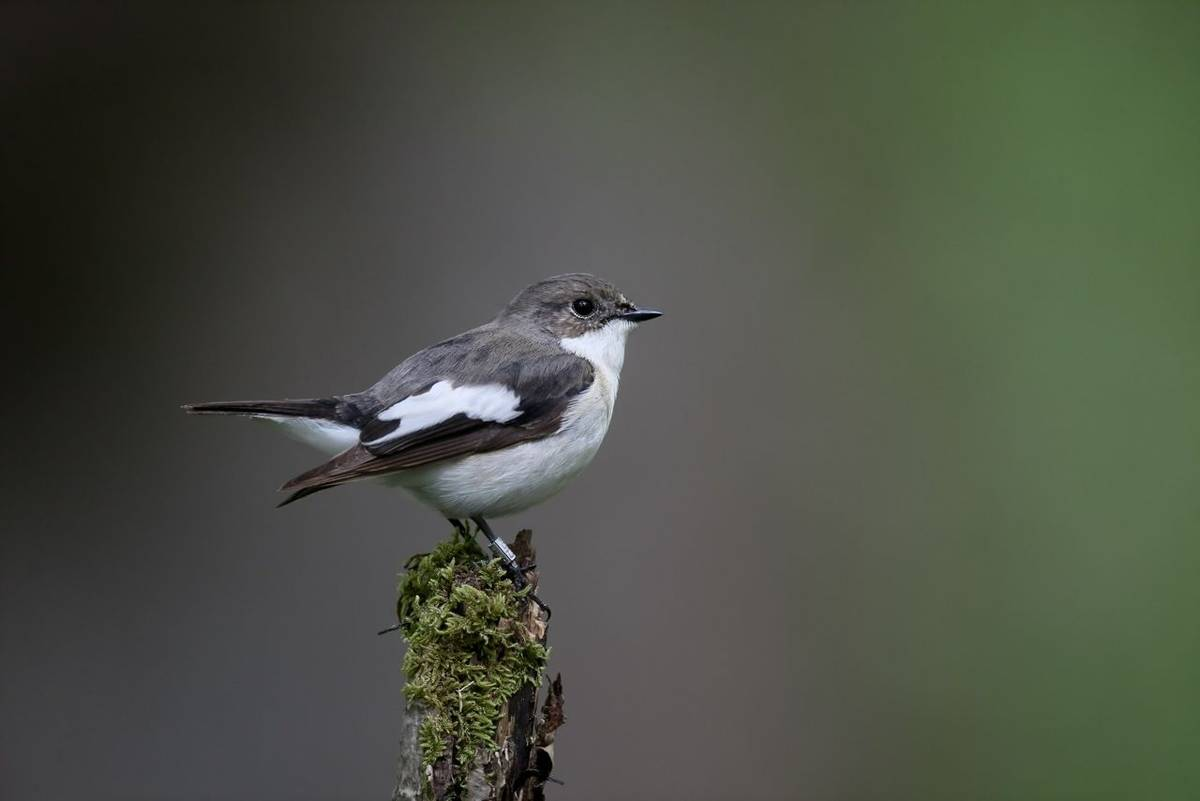 Pied flycatcher, Ficedula hypoleuca, single male on branch, Worcestershire, May 2016