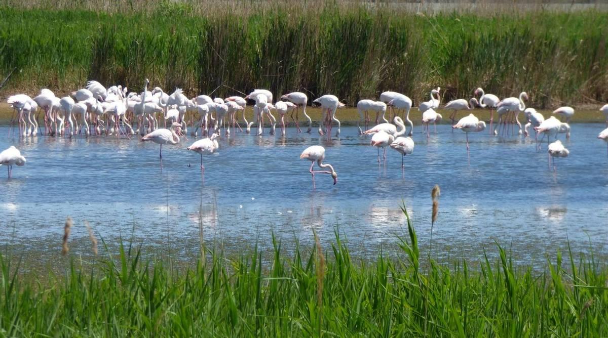 Flamingos (Debbie Hart)