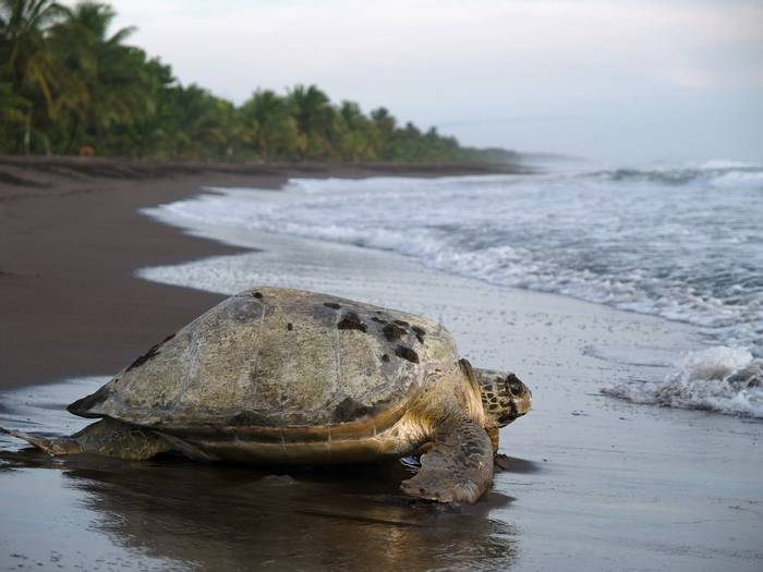 Olive-ridley Sea Turtle