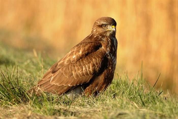 Common Buzzard (David Morris)