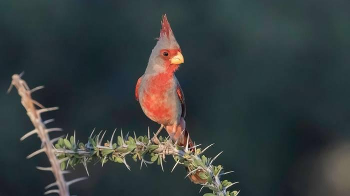 Pyrrhuloxia, Arizona Shutterstock 1078663514