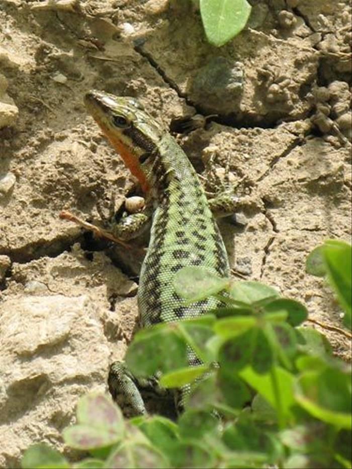 Peloponnese Wall Lizard (Paul Harmes)